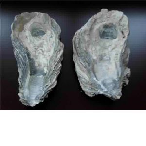 ancient oyster shell powder